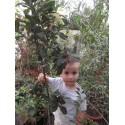 Mosmon la ghiveci - Mespilus Germanica 2 ani 1,3 - 1,7m altoit