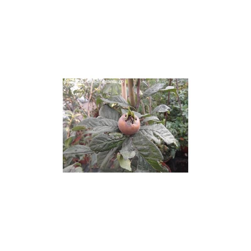 Mosmon - Mespilus Germanica 2 ani 1,3 - 1,7m altoit