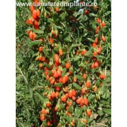 Plante de vanzare goji aronia lonicera sanatate din for Plante 70 cm