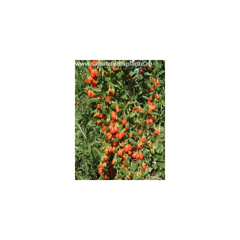 Plante Goji 70 - 80 CM