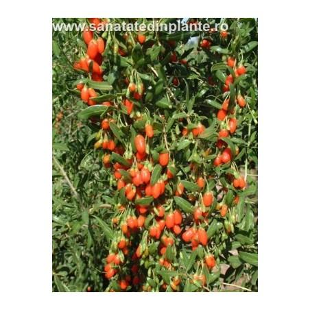 Plante Goji 70-80 CM