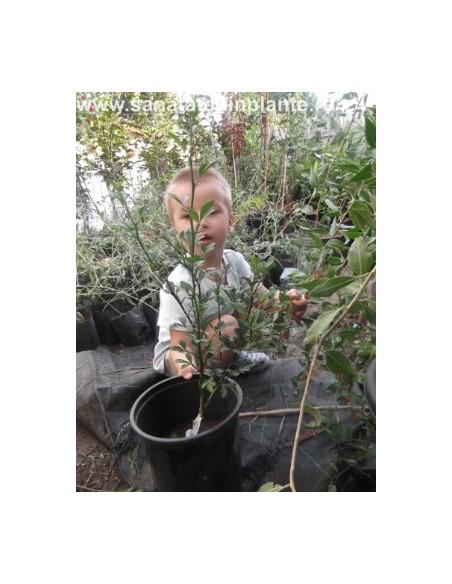 Lamai Trifoliat 30 CM