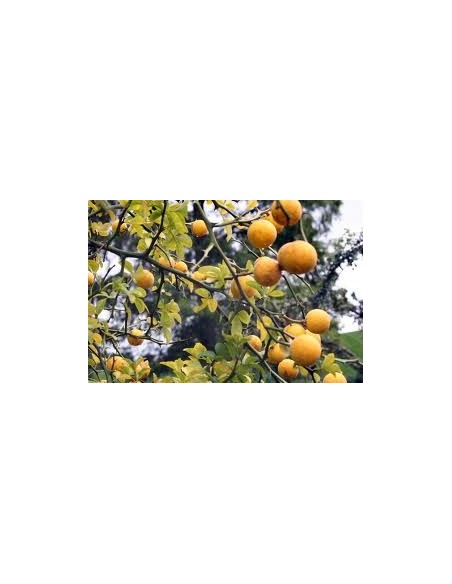 Lamai Trifoliat 10 - 20 CM