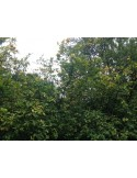 Lamai trifoliat (Poncirus trifoliata)30CM