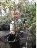Lamai trifoliat (Poncirus trifoliata)50CM