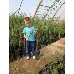 Plante Goji 1m