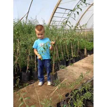 Plante Goji 1 -1,3 M