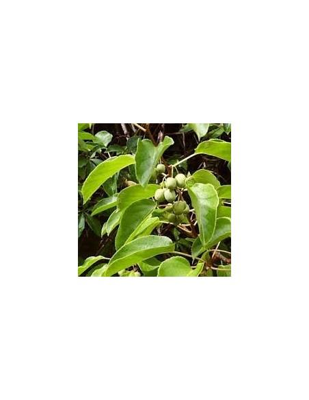 Kiwi 20 - 30 CM