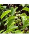 kIWI - Actinidia Arguta 20 - 30 cm