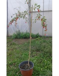 Goji Fructificate 1,1 - 1,4 M