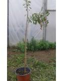 Goji - Lycium Chinesis 1,1 - 1,4 m