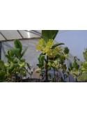 Lonicera caerulea (Afin siberian)