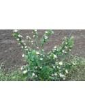 Aronia melanocarpa 50 - 70 CM 2 ANI