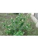 Aronia melanocarpa 70 - 90 CM 3 ANI