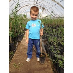 Plante Goji 50-60 CM