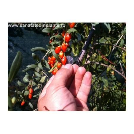 Plante Goji 20 - 40 CM
