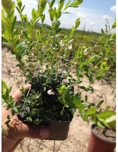 Vacinum macrocarpone - Merisor