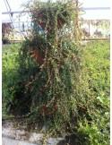 Vacinum macrocarpone - Merisor cranberry plante de 2 ani