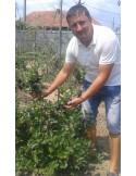 Aronia melanocarpa 1 M , plante fructificate.