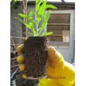 Plante Goji 10 CM