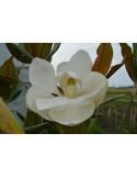 Magnolia Grandiflora Gallissoniensis 2,5-3m