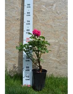 Trandafiri De Dulceata - Rose de Rescht la GHIVECI
