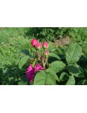 Trandafiri De Dulceata - Rose de Rescht cu radacina nuda