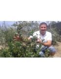 Aronia Melanocarpa 60 - 70 cm 100 bucati
