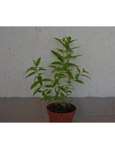 LIPPIA CITRIODORA - CITRONELA ( lamita )