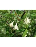 Lonicera caerule var. kamtschatica (Afin siberian) - Soiul Joska