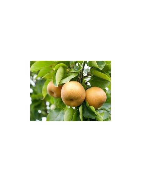 """Par asiatic """" Nashi"""" - Pyrus Pyrifolia  1,5 - 1,7m"""