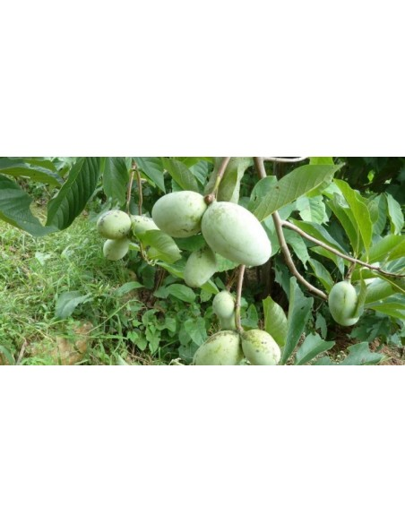 Banana Nordului ( paw paw ) - Asiminia triloba