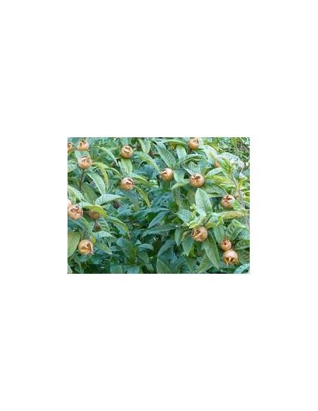 Mespilus germanica -Mosmon  - altoit 1,5 - 1,7 m