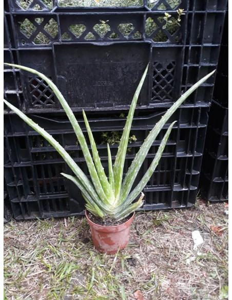 Aloe  Vera    2 ani 25 - 30 cm