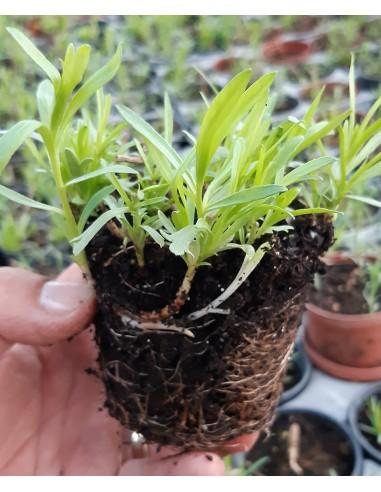 Tarhon aromat- Arteminsia dracunculus