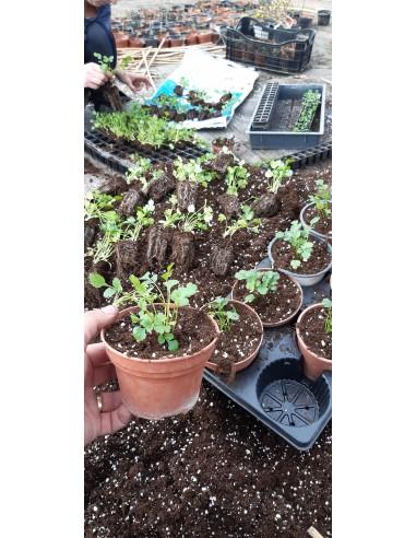 Coriandru - Coriandrum sativum