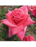 Trandafir 2 ani Pierre Cardin ( teahibrid )