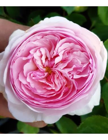 Trandafir englezesc la ghiveci