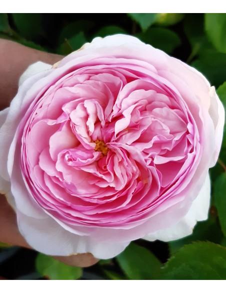Trandafir englezesc roz ( floribunda ) radacina libera SDP 2