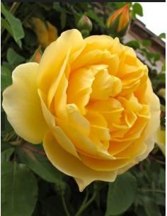 Trandafir englezesc 2 ani