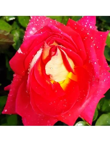Trandafir New Revue - la ghiveci