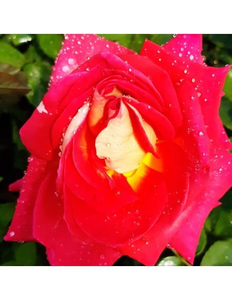 Trandafir rosu-portocaliu ( teahibrid ) - la ghiveci SDP 4
