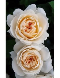 Trandafir englezesc crem la ghiveci
