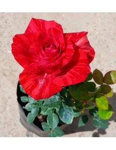 Trandafir rosiu ci striati de catifea SDP 6