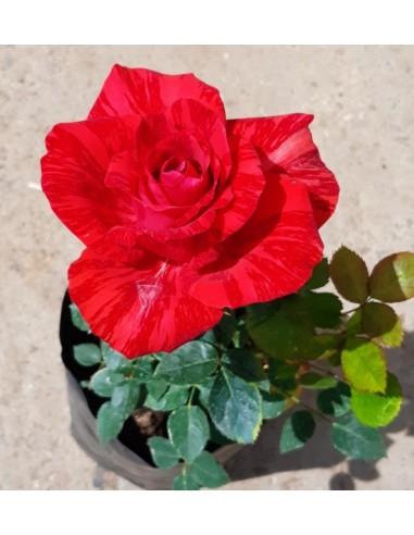 Trandafir Red intuițion la ghiveci