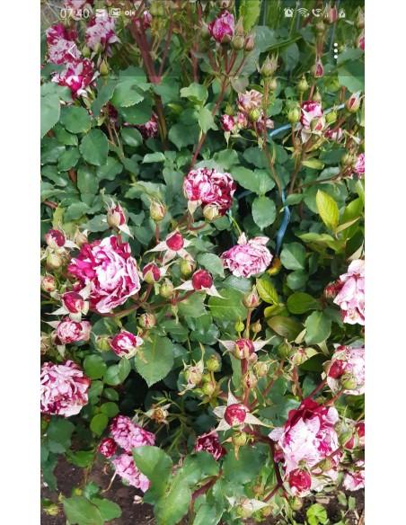 Trandafir la ghiveci SDP 9
