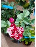 Trandafir New imagine la ghiveci