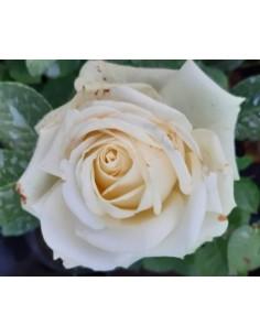 Trandafir alb teahibrid la ghiveci SDP 10