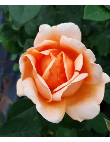 Trandafir portocaliu teahibrid la ghiveci SDP 11