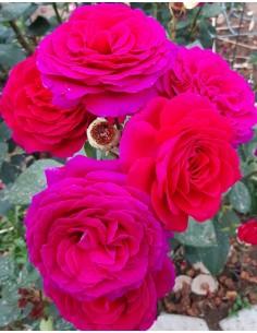Trandafir roz teahibrid la ghiveci SDP 12
